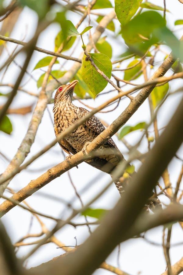 Asiático fêmea Koel que empoleira-se na árvore de BO fotos de stock royalty free