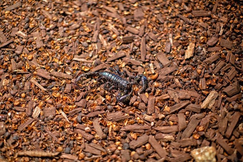 Asiático gigante Forest Scorpion imágenes de archivo libres de regalías