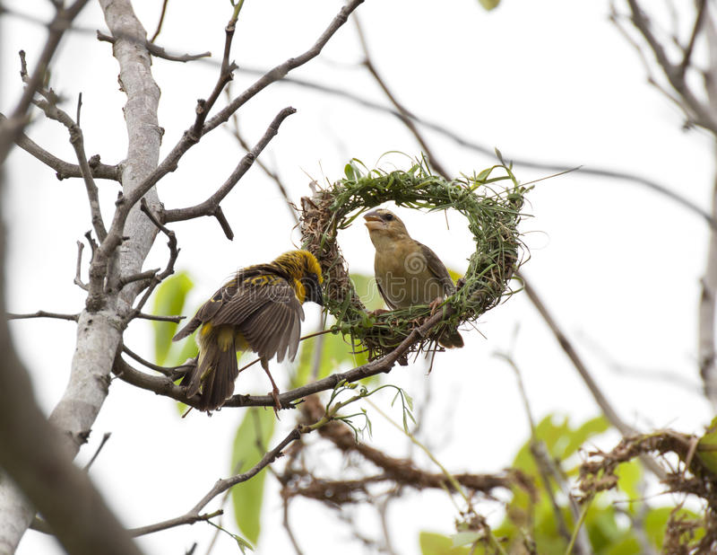 Asiático Weaver Bird imagens de stock