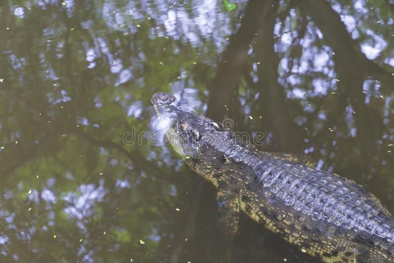 Asia big crocodile. On river background, animal dangerous concept stock photography