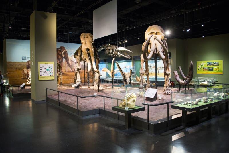 Asia China, Tianjin, museo de la naturaleza, esqueleto del elefante, fotografía de archivo