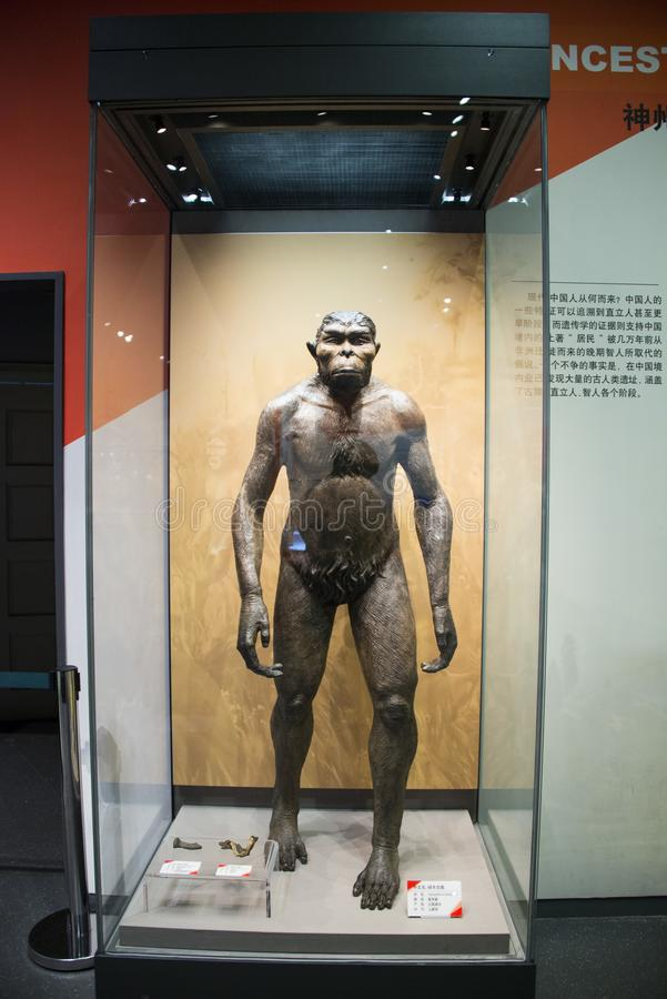 Asia, China, Tianjin Museum of natural history, Australopithecus royalty free stock images