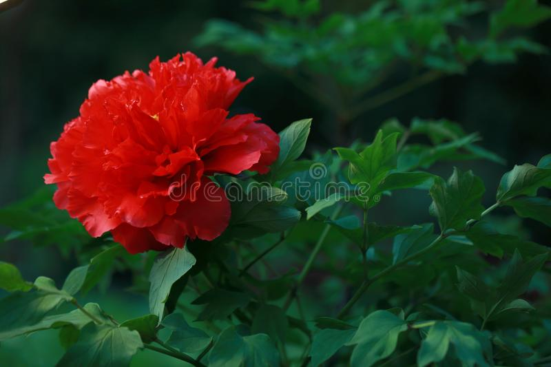 Asia Chinese red peony in a summer spring autumn park forest beautiful scenery veiw scene landscape pretty flower. Green leaf leaves ,A peony is a showy flower royalty free stock image
