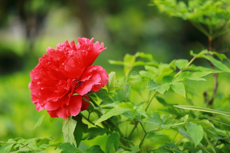 Asia Chinese red peony in a summer spring autumn park forest beautiful scenery veiw scene landscape pretty flower. Green leaf leaves ,A peony is a showy flower stock photography