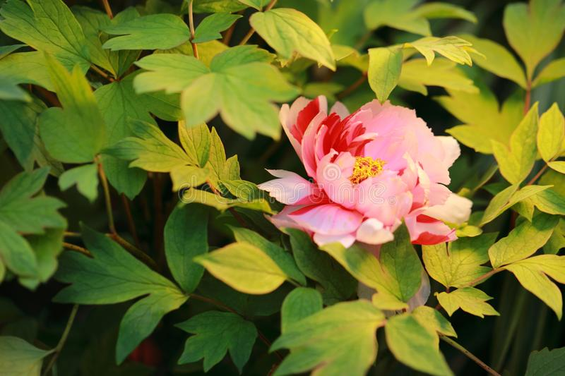 Asia Chinese red pink colorful peony in a summer spring autumn park forest beautiful scenery veiw scene landscape pretty flower. Asia Chinese red peony in a stock photo