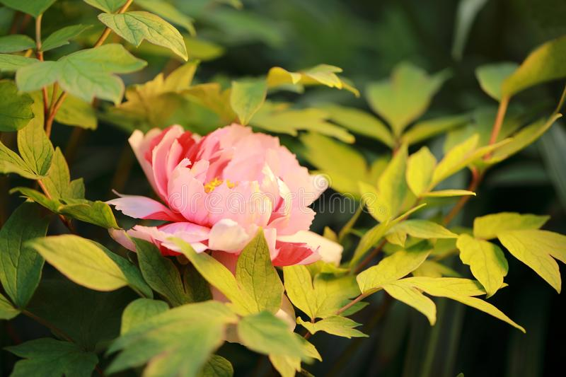 Asia Chinese red pink colorful peony under sunshine in summer spring autumn park forest beautiful scenery veiw scene pretty flower. Asia Chinese red peony in a stock photos