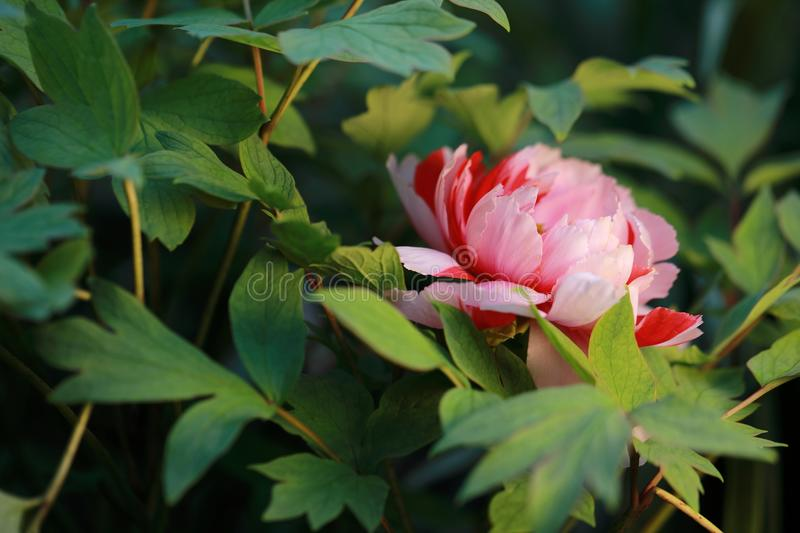 Asia Chinese red pink colorful peony under sunshine in summer spring autumn park forest beautiful scenery veiw scene pretty flower. Asia Chinese red peony in a stock photo
