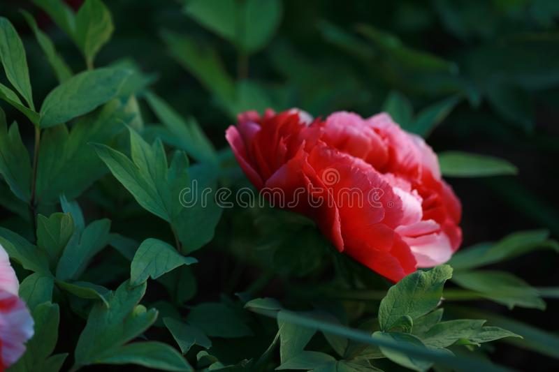 Asia Chinese red pink colorful peony under sunshine in summer spring autumn park forest beautiful scenery veiw scene pretty flower. Asia Chinese red peony in a royalty free stock image