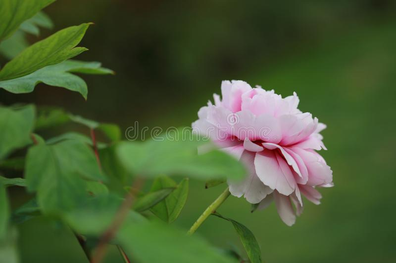 Asia Chinese red pink colorful peony under sunshine in summer spring autumn park forest beautiful scenery veiw scene pretty flower. Asia Chinese red peony in a royalty free stock photos
