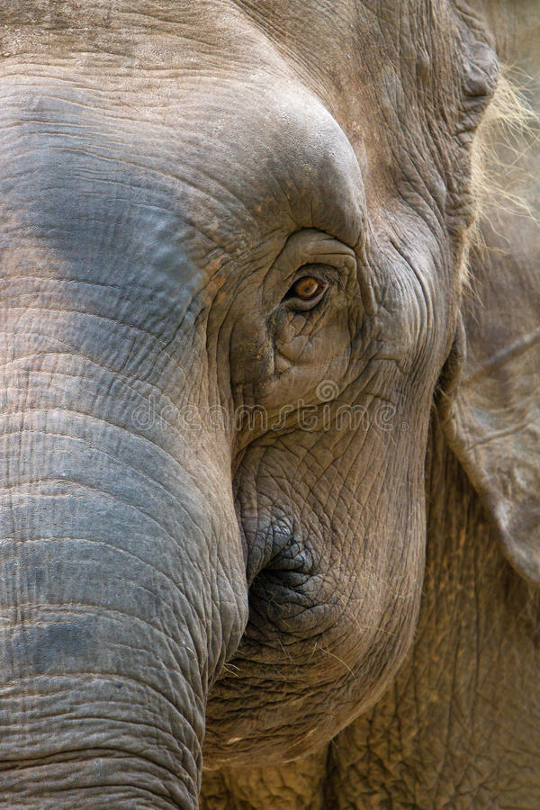 Asia elephant head royalty free stock images