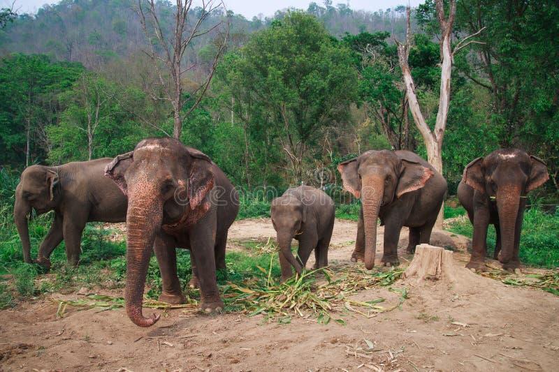 Asia elephants in Chiangmai,Thailand royalty free stock photos