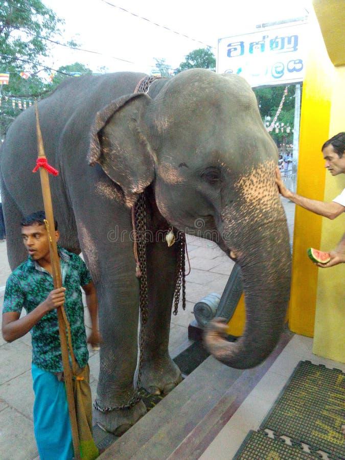 Asia eliphant srilanquesa fotografía de archivo libre de regalías