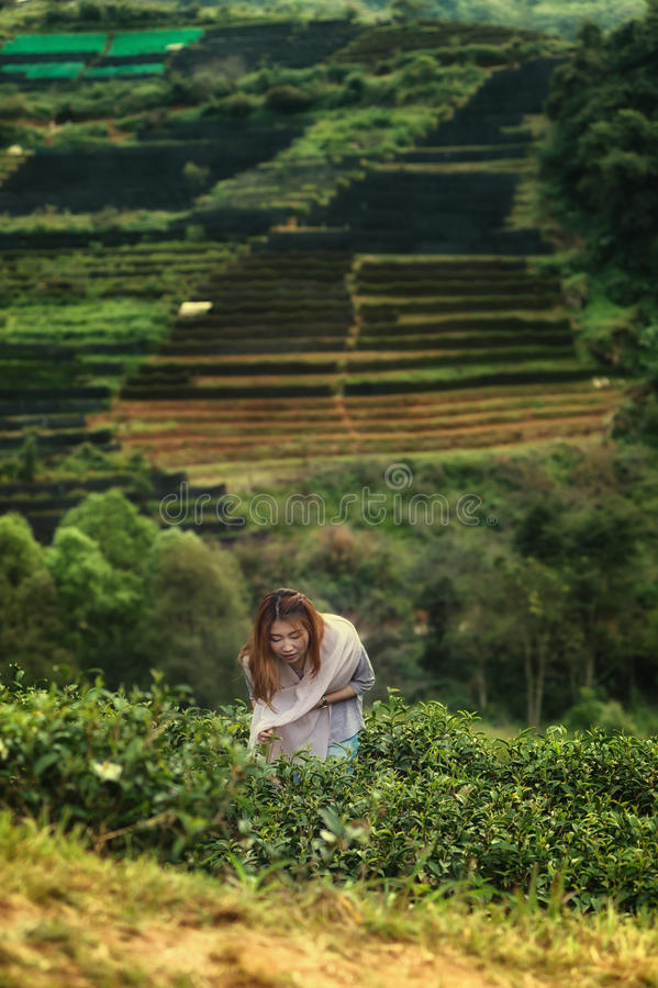 Asia happy woman harvesting tea leaves on doi angkhang mountain. Asian beautiful woman picking tea leaf in tea plantation, Angkhang mountain Chiangmai Thailand stock images
