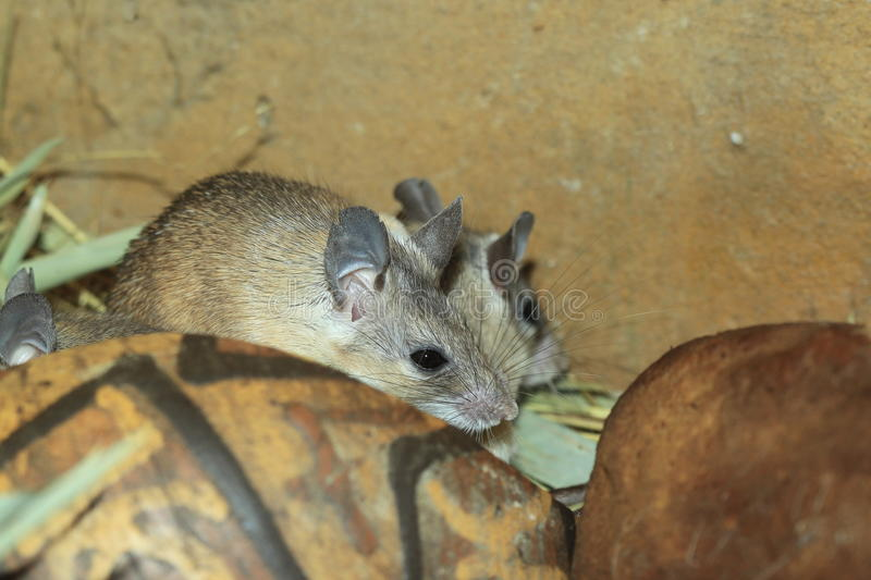Asia Minor spiny mouse. The couple of asia minor spiny mouses royalty free stock image