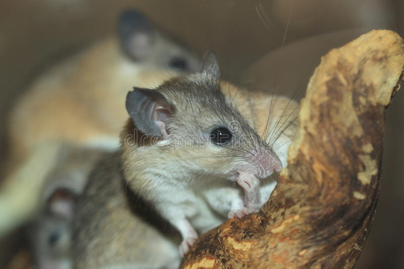Asia minor spiny mouse. The detail of Asia minor spiny mouse stock photo
