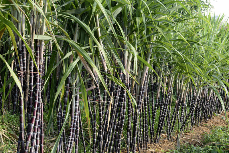 ASIA MYANMAR MYEIK SUGAR. A sugar plantation in a village near the city of Myeik in the south in Myanmar in Southeastasia stock images