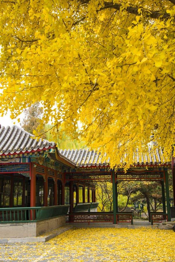 Asia parque de China, Pekín, Zhongshan, pasillo antiguo del edificio, árbol del ginkgo, foto de archivo