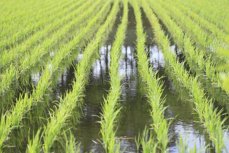 asia pola zieleni irlandczyk zdjęcia royalty free