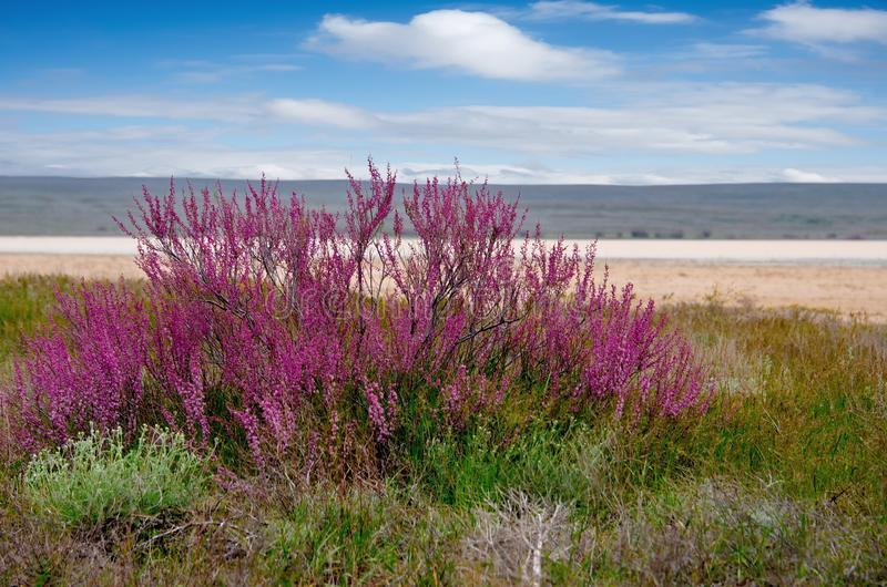 Blooming saksaul trees in the flooded plains. stock photo