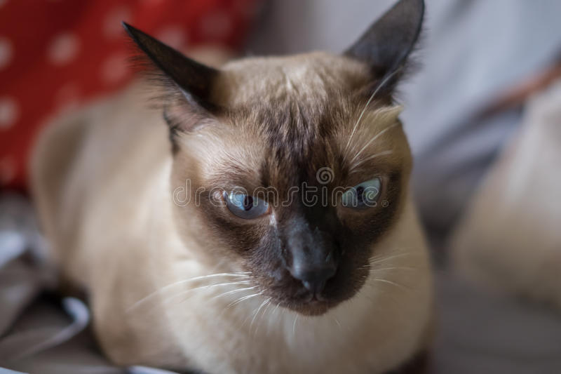 Asia,Thailand Cat - (Selective focus).  royalty free stock images