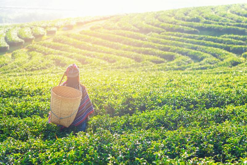 Asia worker farmer women were picking tea leaves for traditions in the sunrise morning at tea plantation nature, Thailand. Asia worker farmer woman were picking royalty free stock photos