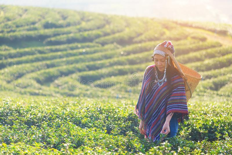 Asia worker farmer women were picking tea leaves for traditions in the sunrise and sunny morning at tea plantation nature outdoor, stock photography
