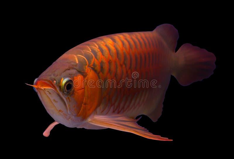 Asian Arowana fish isolated in black background royalty free stock image