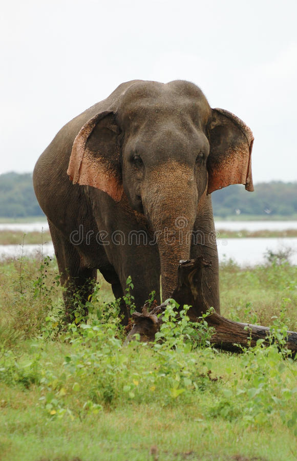 Asian or Asiatic Elephant ,Ceylon royalty free stock images