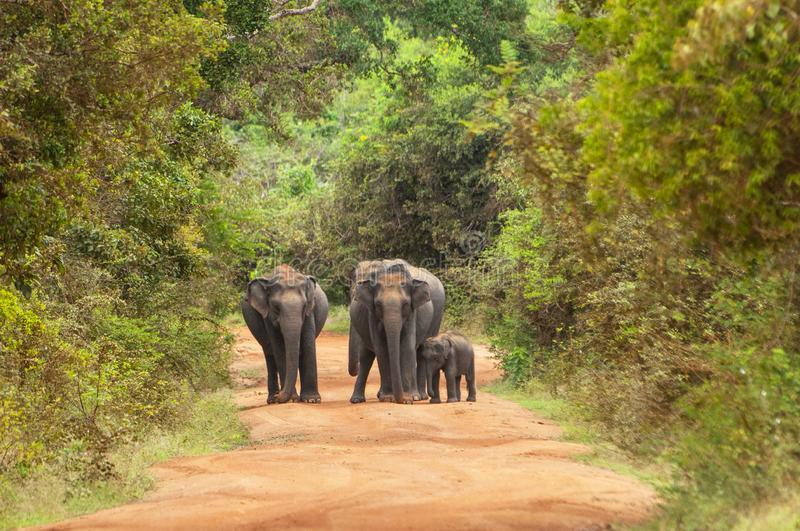 Asian or Asiatic elephants Elephas maximus family cross the road in Yala National Park, Sri Lanka royalty free stock photos