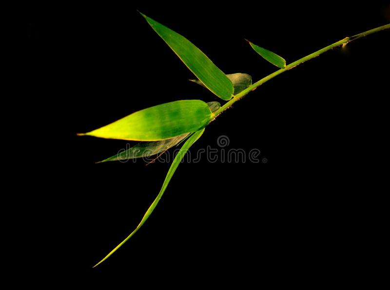 Asian background. Green bamboo branches on black background view with copy space for text.  royalty free stock photos