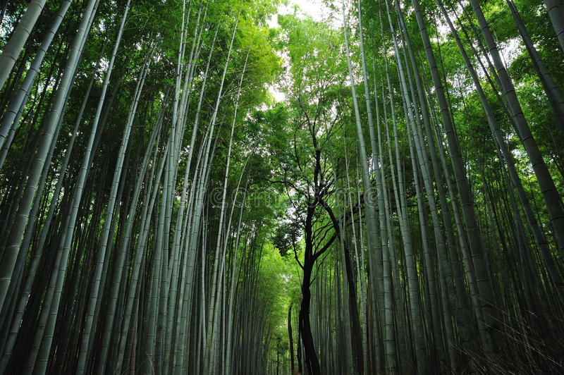 Asian Bamboo Forest. In japan royalty free stock image