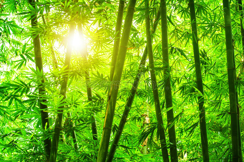 Asian bamboo forest. With morning sunlight stock photography