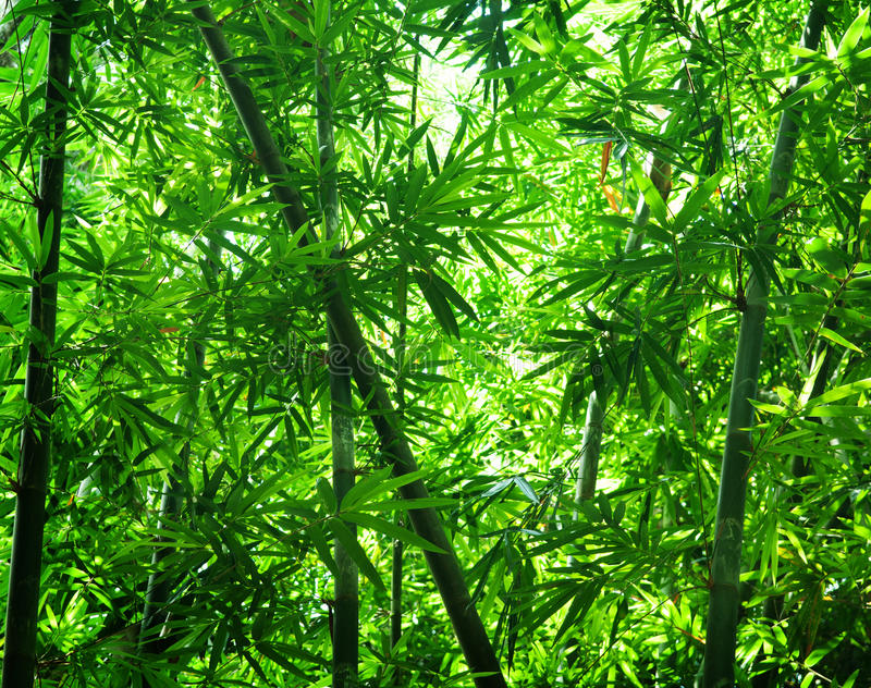 Asian bamboo forest view. In morning stock image