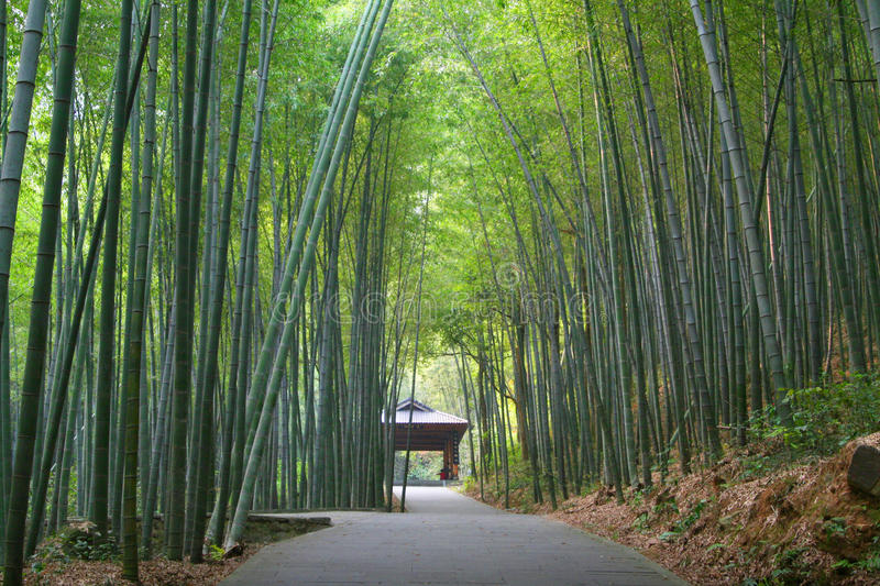 Asian bamboo garden. Beautiful Asian bamboo garden forest. Bamboo are often used for construction in Asia royalty free stock images
