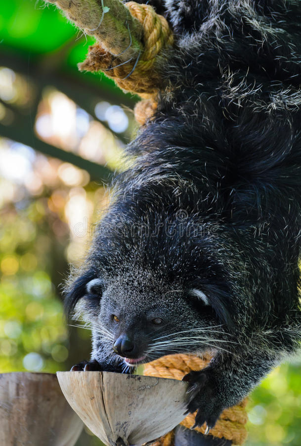 Download Asian Bearcat - Arctictis Binturong Stock Image - Image: 28179161