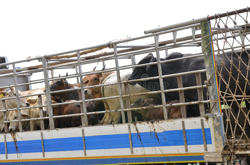 Asian beef farm truck. Truck Transport Beef Cattle Cow livestock In Asia stock photography
