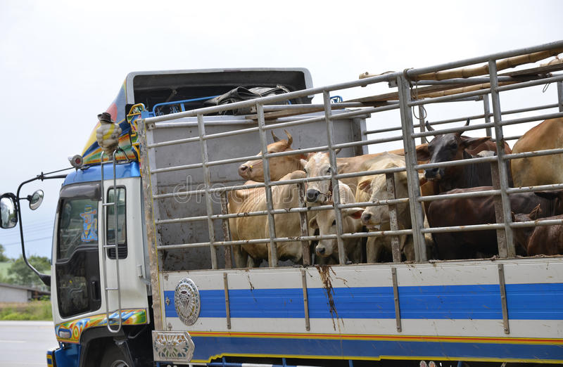 Asian beef farm truck. Truck Transport Beef Cattle Cow livestock In Asia stock photos