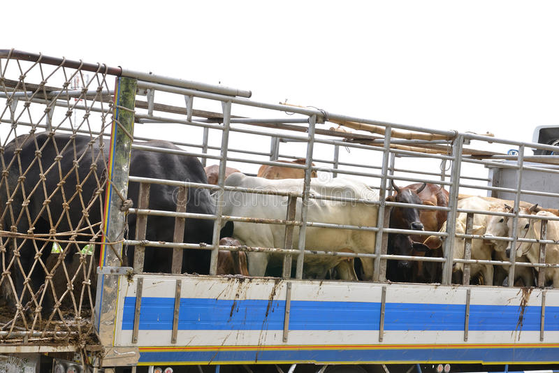 Asian beef farm truck. Truck Transport Beef Cattle Cow livestock In Asia stock photo