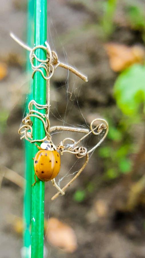 Asian beetle, lady bug stock image
