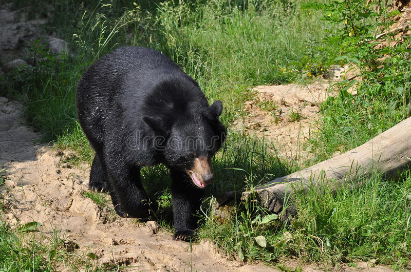 Download Asian black bear stock image. Image of mouth, power, outdoor - 15544001