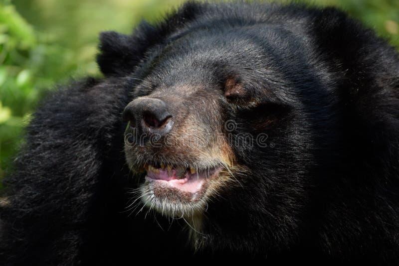 Asian black bear royalty free stock images