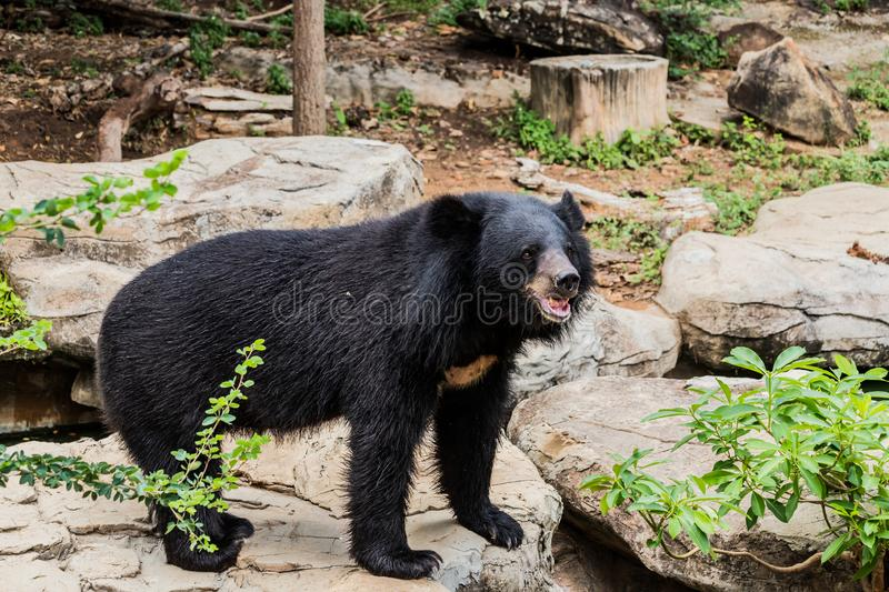 Asian Black bear with chest The V shape is white wool / Close up Asiatic black bear relax in the summer time stock photos