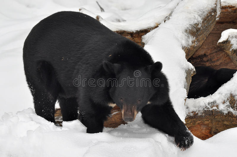 Asian black bear in front of lair stock images