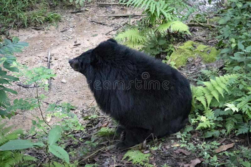 Asian black bear Ursus thibetanus also known as the moon bear and the white-chested bear relaxing in zoo. Asian black bear Ursus thibetanus also known as the royalty free stock images