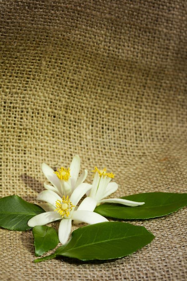 Asian Blossom Stock Image