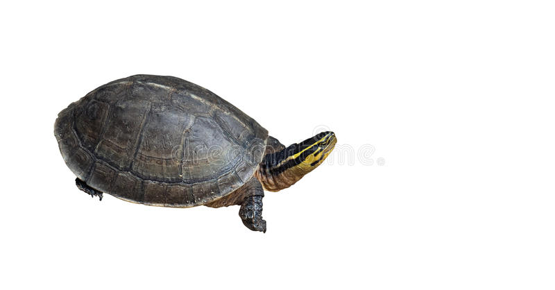 Asian Box Turtle on White Background royalty free stock photography