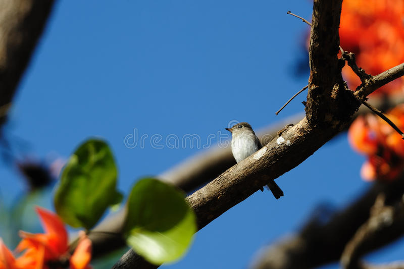 Asian Brown Flycatcher Royalty Free Stock Image