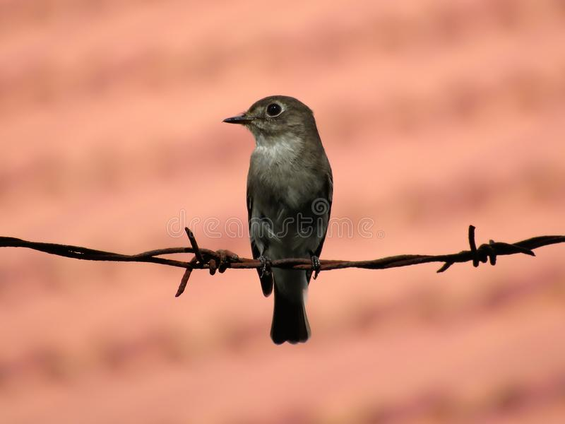 Asian Brown Flycatcher Perched On Barbed Wire. Asian Brown Flycatcher, Muscicapa dauurica, perched on barbed wire of a wall fence, with pink coloured blurred stock image