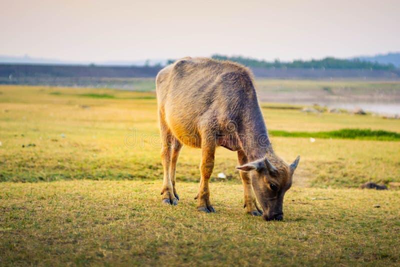 Asian buffalo eat grass on the field stock photography