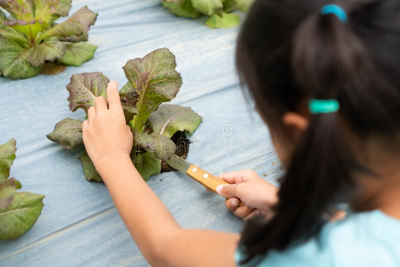 Asian child girl harvesting fresh vegetables in organic hydroponic vegetable cultivation farm. With fun royalty free stock photography
